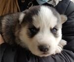 Puppy 3 Akita-Alaskan Malamute Mix