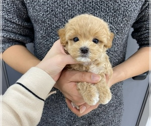 Medium Maltipoo