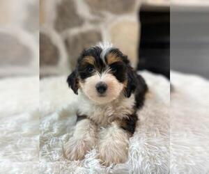 Bernedoodle Puppy for sale in GLENMOORE, PA, USA