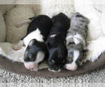Small Photo #3 Austi-Pap Puppy For Sale in NEWARK, DE, USA