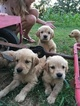 Golden Retriever Puppy For Sale in GREENWOOD, DE, USA