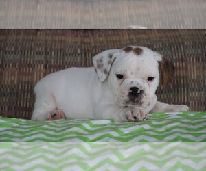 Beabull Puppy for sale in FREDERICKSBG, OH, USA