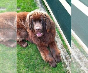 Newfoundland Dog for Adoption in Waltenschwil, Aargau Switzerland