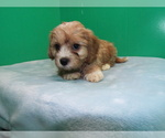 Puppy 2 Cavalier King Charles Spaniel-Poodle (Standard) Mix