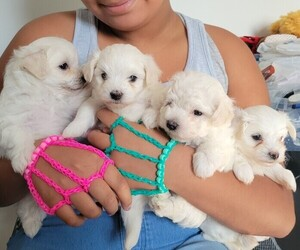 Maltipoo Puppy for sale in KENDALL, FL, USA