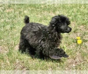 Poodle (Toy) Puppy for sale in WOODSTOCK, CT, USA