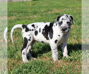 Great Dane Puppy for sale in LITITZ, PA, USA