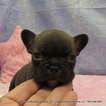 French Bulldog Puppy For Sale in DRAIN, OR, USA