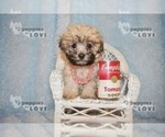 Small #11 Maltese-Poodle (Toy) Mix