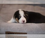 Puppy 9 Welsh Cardigan Corgi
