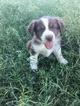 Australian Shepherd Puppy For Sale in GRANBURY, TX