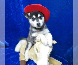 Alaskan Klee Kai Puppy for Sale in NORWOOD, Missouri USA