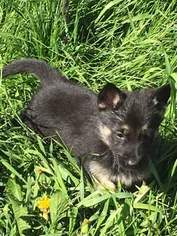 German Shepherd Dog Puppy For Sale in LANSING, MI, USA