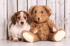 Dachshund Puppy For Sale in MOUNT VERNON, Ohio,
