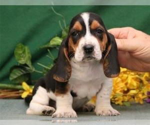 Basset Hound Puppy for sale in ATL, GA, USA