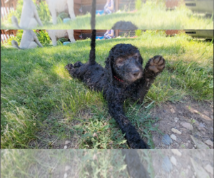 Goldendoodle Puppy for Sale in WHITEWOOD, South Dakota USA