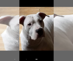 Mother of the Dogo Argentino puppies born on 11/21/2020