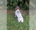 Small #15 German Shorthaired Pointer