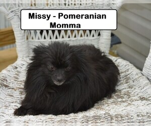 Mother of the Pomeranian puppies born on 04/21/2020