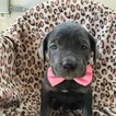 Dutch Shepherd Dog Puppy For Sale in QUARRYVILLE, PA, USA