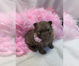 Pomeranian Puppy for sale in TALALA, OK, USA