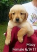 Registered AKC Champion Bloodlines Golden Retrieve