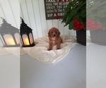 Puppy 9 Cavapoo