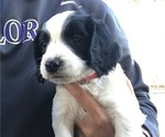 Puppy 1 English Springer Spaniel