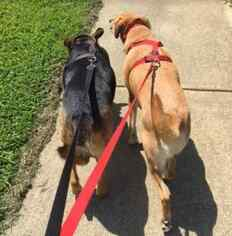 Ger Shepherd Lab Retriever Mix Dogs to adopt in NC