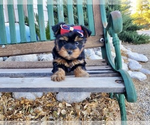 Yorkshire Terrier Dog for Adoption in SANTA CLARITA, California USA