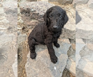 Airedoodle Puppy for sale in TWIN FALLS, ID, USA