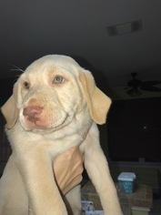 Labrador Retriever Puppy For Sale in SAN ANTONIO, TX