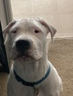 Dogo Argentino Puppy For Sale in NEW LLANO, LA, USA