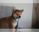 Small Photo #8 Shiba Inu Puppy For Sale in SEATTLE, WA, USA