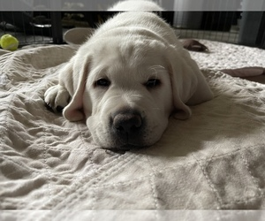 Labrador Retriever Puppy for Sale in MOSES LAKE, Washington USA