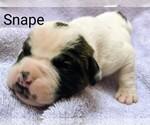 Small #21 American Bulldog