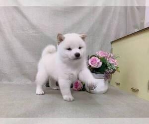 Shiba Inu Puppy for Sale in SEATTLE, Washington USA
