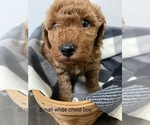 Puppy 4 Miniature Labradoodle
