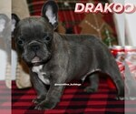 Small Photo #8 French Bulldog Puppy For Sale in GRAHAM, WA, USA