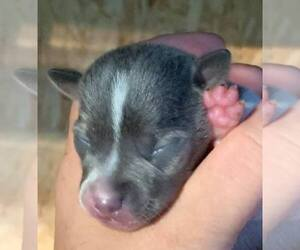 Rat Terrier Puppy for sale in WHITAKERS, NC, USA