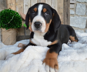 Greater Swiss Mountain Dog Puppy for sale in HONEY BROOK, PA, USA