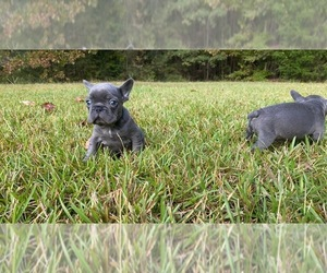 French Bulldog Puppy for sale in LOCUST GROVE, GA, USA