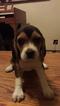 Beagle Puppy For Sale in SACRAMENTO, CA, USA