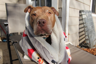 Bellamy - American Pit Bull Terrier (short coat) Dog For Adoption