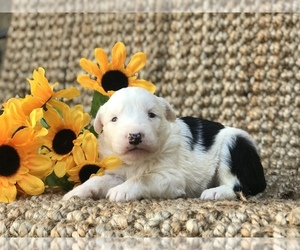 Old English Sheepdog Puppy for sale in RIVERSIDE, CA, USA