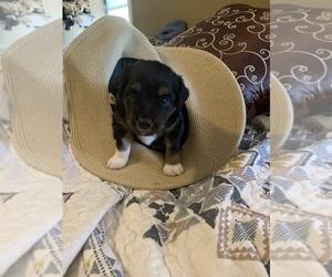 Australian Shepherd Puppy for sale in MENIFEE, CA, USA
