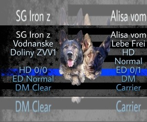 German Shepherd Dog Puppy for sale in CALVARY, KY, USA