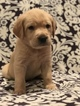 Golden Labrador Puppy For Sale in GRENADA, MS, USA