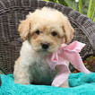 Poochon Puppy For Sale in GAP, PA, USA