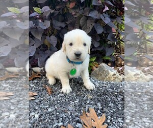 Golden Retriever Puppy for sale in TAYLORSVILLE, NC, USA